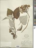 view Sinclairia polyantha (Klatt) Rydb. digital asset number 1