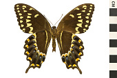 view Laurel Swallowtail, Palamedes Swallowtail digital asset number 1