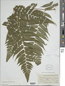 view Cyathea pungens (Willd.) Domin digital asset number 1