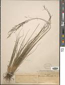 view Sporobolus heterolepis (A. Gray) A. Gray digital asset number 1