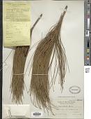 view Pinus merkusii Jungh. & DeVries digital asset number 1