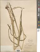 view Panicum virgatum L. digital asset number 1