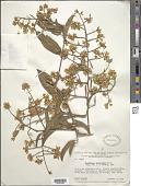 view Bredemeyera floribunda Willd. digital asset number 1