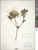 view Rhododendron atlanticum (Ashe) Rehder digital asset number 1