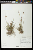 view Rhynchospora rugosa subsp. lavarum (Gaudich.) T. Koyama digital asset number 1