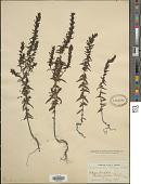 view Bartsia odontites (L.) Huds. digital asset number 1