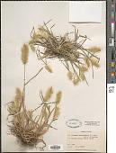 view Polypogon monspeliensis (L.) Desf. digital asset number 1