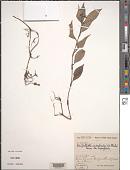 view Stanfieldiella imperforata (C.B. Clarke) Brenan var. imperforata digital asset number 1