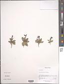 view Lancea tibetica Hook. f. & Thomson digital asset number 1