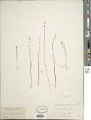 view Scleria verticillata Muhl. ex Willd. digital asset number 1