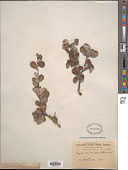 view Amelanchier nervosa (Decne.) Standl. digital asset number 1