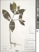 view Palicourea polycephala (Benth.) Delprete & J.H. Kirkbr. digital asset number 1