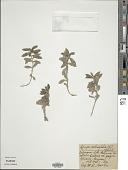 view Ajuga salicifolia (L.) Schreb. digital asset number 1