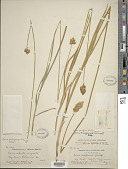 view Carex specifica L.H. Bailey digital asset number 1