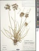 view Cyperus surinamensis Rottb. digital asset number 1