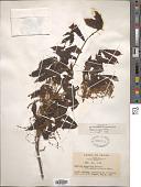 view Quercus mongolica digital asset number 1