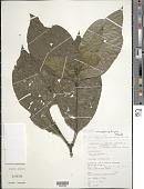 view Palicourea microbotrys (Ruiz ex Standl.) Delprete & J.H. Kirkbr. digital asset number 1