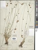 view Rhynchospora grayi Kunth digital asset number 1