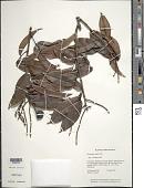 view Pterocarpus rohrii Vahl digital asset number 1