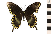 view Spicebush Swallowtail digital asset number 1