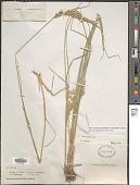 view Poa secunda subsp. juncifolia var. ampla (Merr.) Soreng digital asset number 1