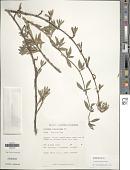 view Ernodea littoralis Sw. digital asset number 1