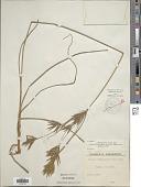 view Cyperus tenuiculmis Boeckeler digital asset number 1