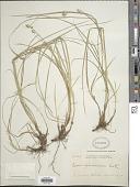 view Carex phalaroides Kunth digital asset number 1