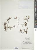 view Hymenophyllum elegans Spreng. digital asset number 1