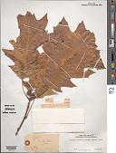 view Quercus rubra L. digital asset number 1