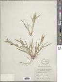view Carex granularis Muhl. ex Willd. digital asset number 1