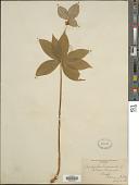 view Medeola virginiana (L.) Desf. digital asset number 1