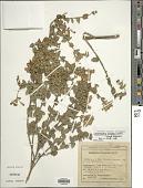 view Chromolaena bullata (Klatt) R.M. King & H. Rob. digital asset number 1