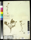 view Layia glandulosa Hook. & Arn. digital asset number 1