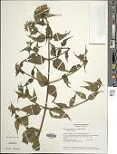 view Chromolaena odorata (L.) R.M. King & H. Rob. digital asset number 1