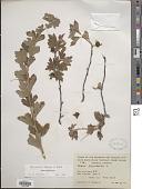 view Ribes hirtellum digital asset number 1
