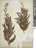 view Chamaenerion angustifolium subsp. angustifolium (L.) Scop. digital asset number 1