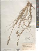 view Eragrostis secundiflora J. Presl digital asset number 1