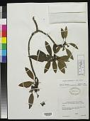 view Arbutus arizonica (A. Gray) Sarg. digital asset number 1