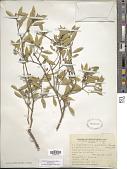 view Aspidosperma quebracho-blanco Schltdl. digital asset number 1