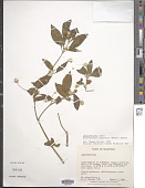 view Alternanthera pubiflora (Benth.) Kuntze digital asset number 1
