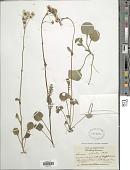 view Packera obovata (Muhl. & Willd.) W.A. Weber & Á. Löve digital asset number 1