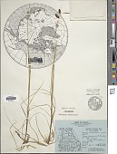 view Carex magellanica subsp. irrigua (Wahlenb.) Hiitonen digital asset number 1