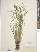 view Carex flexuosa Muhl. ex Willd. digital asset number 1