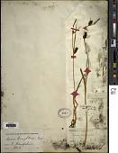 view Carex houghtoniana Torr. ex Dewey digital asset number 1
