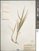 view Phalaris arundinacea L. digital asset number 1