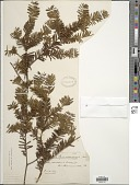 view Taxus canadensis Marshall digital asset number 1