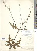 view Smallanthus oaxacanus (Sch. Bip. ex Klatt) H. Rob. digital asset number 1