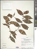 view Clidemia dimorphica J.F. Macbr. digital asset number 1