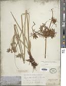 view Cyperus setigerus Torr. & Hook. digital asset number 1